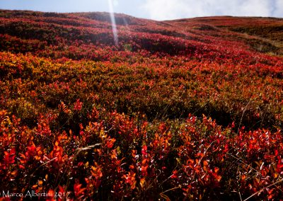 Mirtilli_autunno_Madreselva